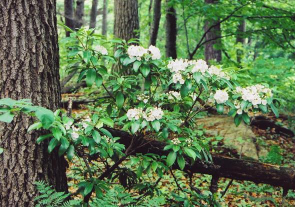 M. laurel woods