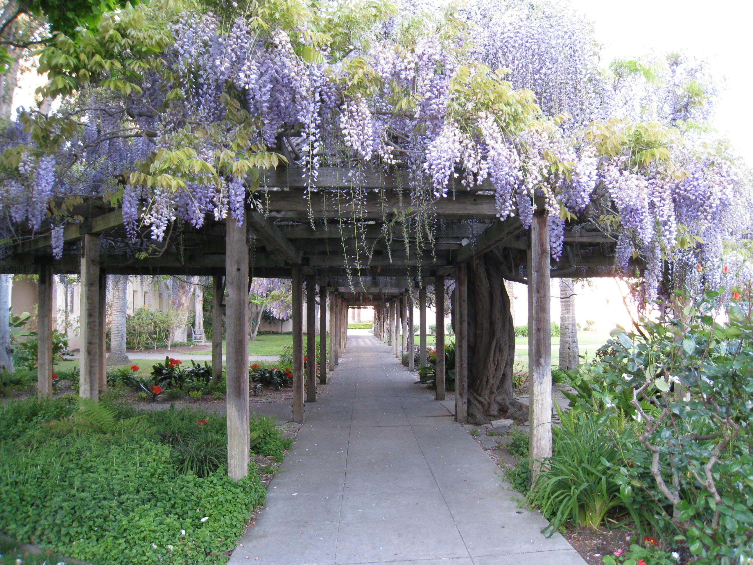 Wisteria Plant Care Guide Auntie Dogma S Garden Spot