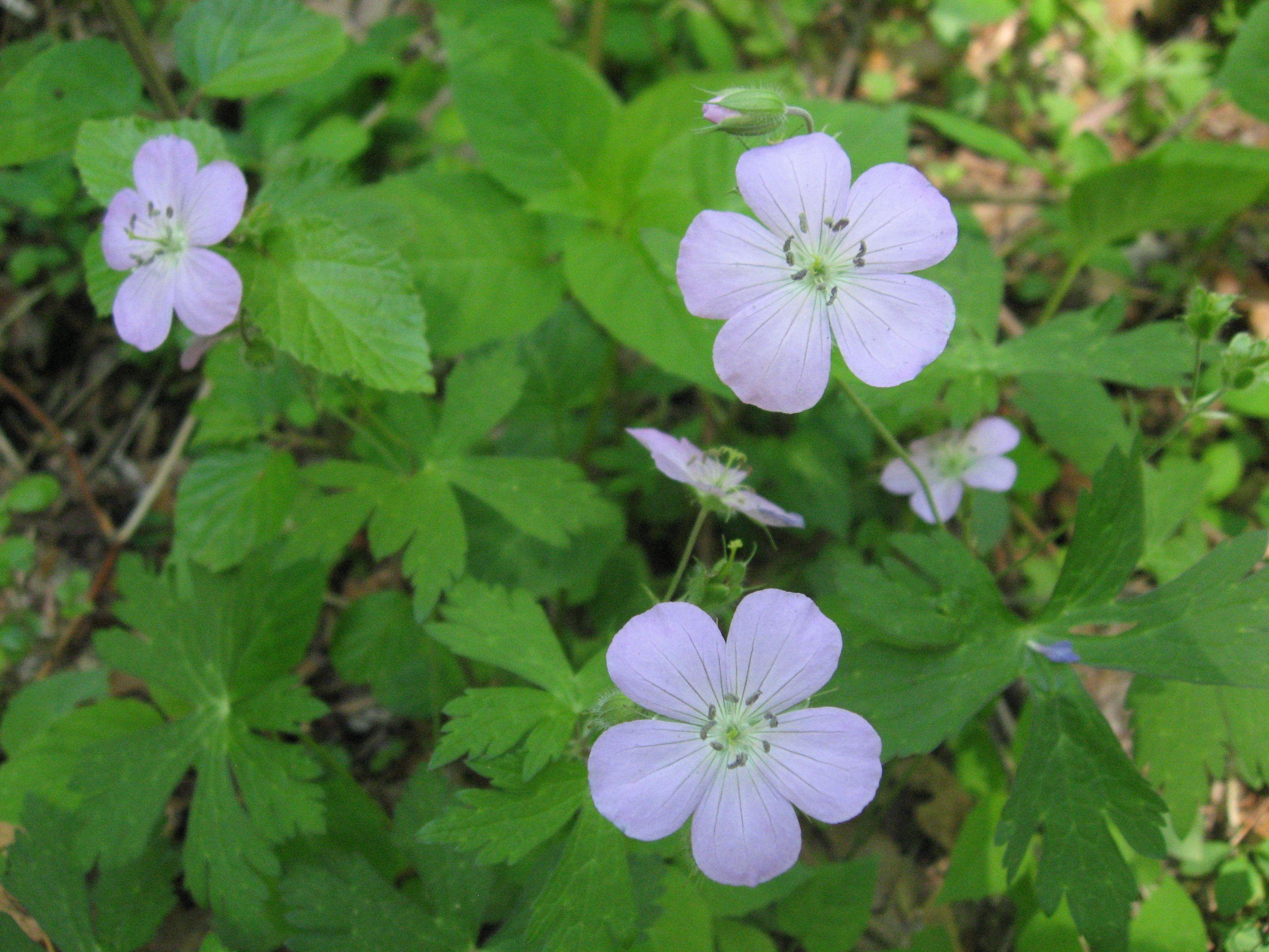 Wild Geranium ~ Geranium maculatum Plant Care Guide ...