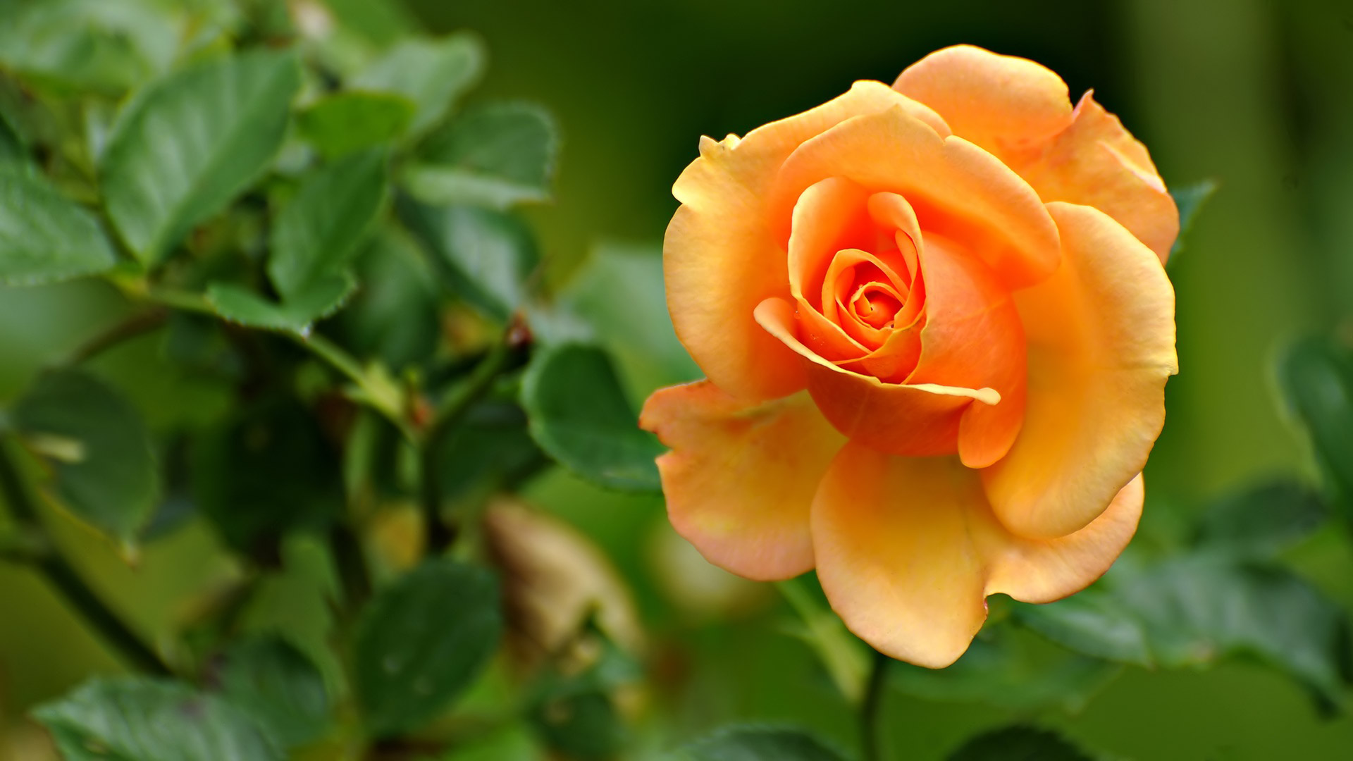 peach-rose-peach-colored-flowers-hd-wallpaper