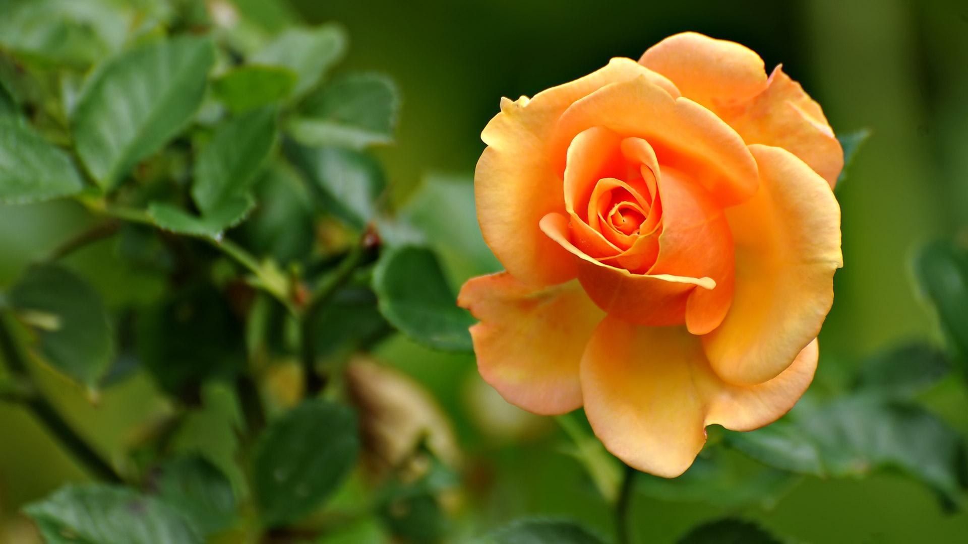 Roses auntie dogma 39 s garden spot - Rose desktop wallpaper hd ...