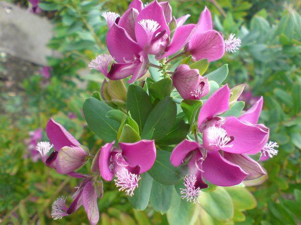Polygala_myrtifolia_(var._grandiflora)-1