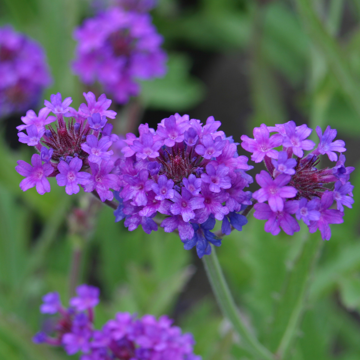 Verbena Plant Care Guide and Varieties | Auntie Dogma's ...
