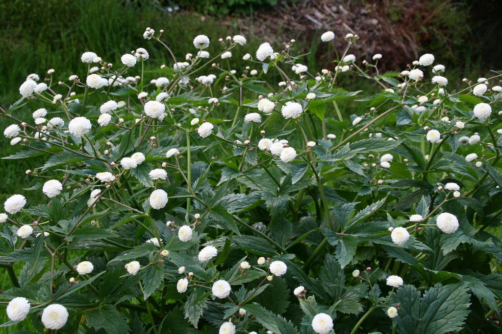 Crowfoot buttercup buttercups ranunculus plant care for Garden plants