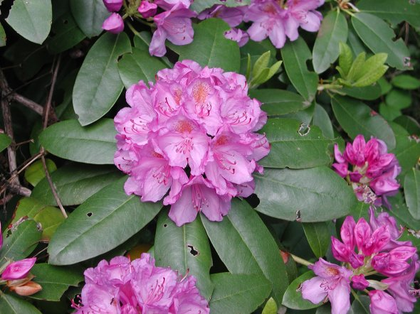 Rhododendron_maximum