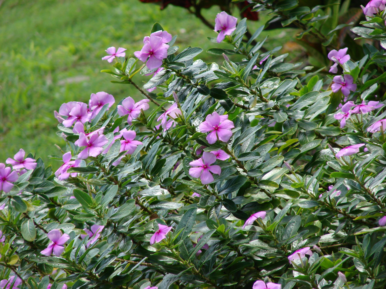Vinca Rosea Auntie Dogma S Garden Spot