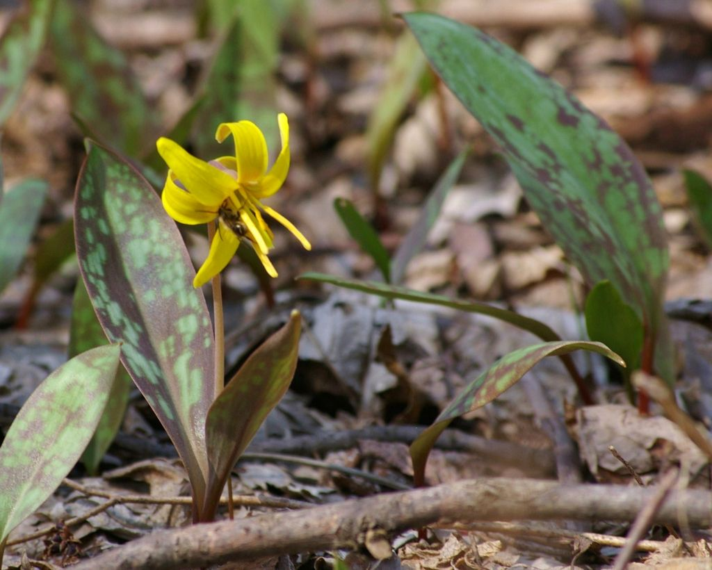 Trout Lily Auntie Dogma S Garden Spot