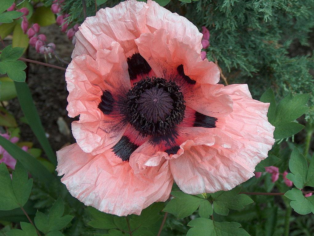 Papaver orientale oriental poppy plant care guide varieties papaver orientale mightylinksfo