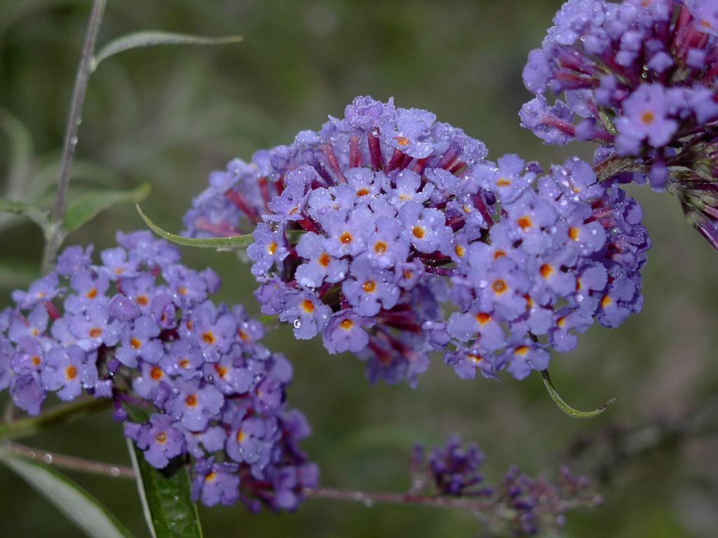 Butterfly Bush Buddleja Davidii Plant Care Guide