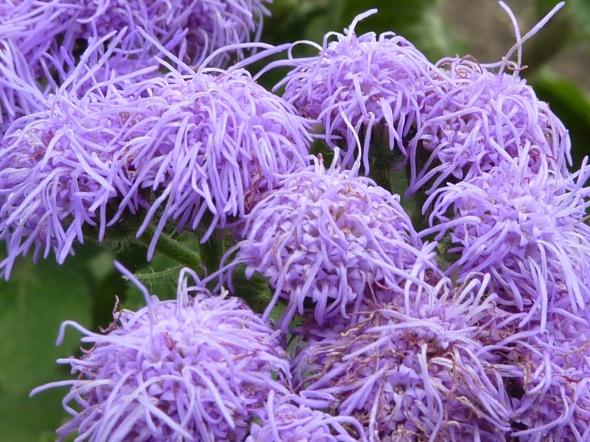 Ageratum_houstonianum_'Blue_Mink'_(Compositae)_flowers