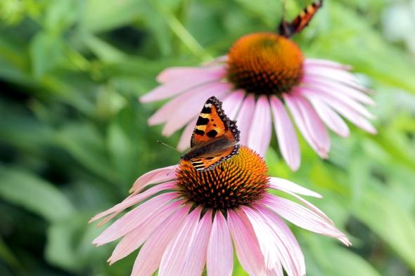 Aglais_urticae_on_Echinacea_purpurea