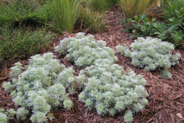 artemisia silver mound