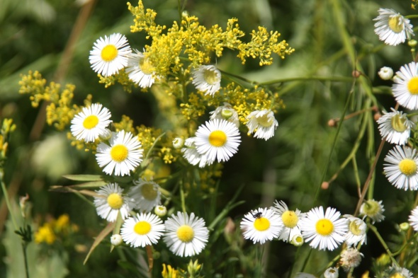 As chamomile flower with thin petals