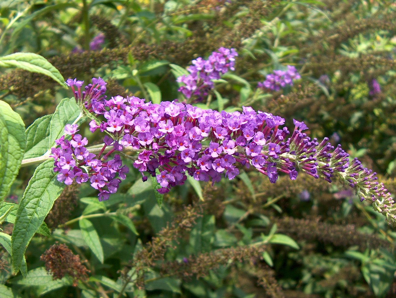 Shrubs with purple flowers pictures - Bbush