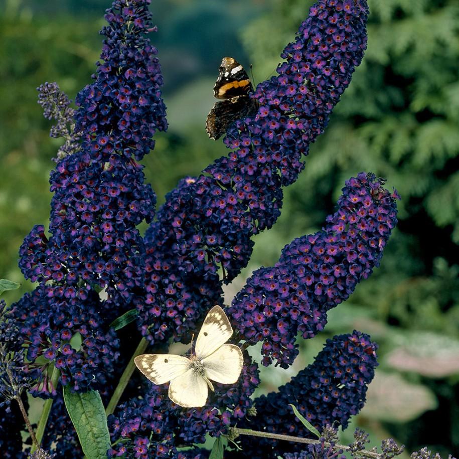 how to kill off a lilac bush