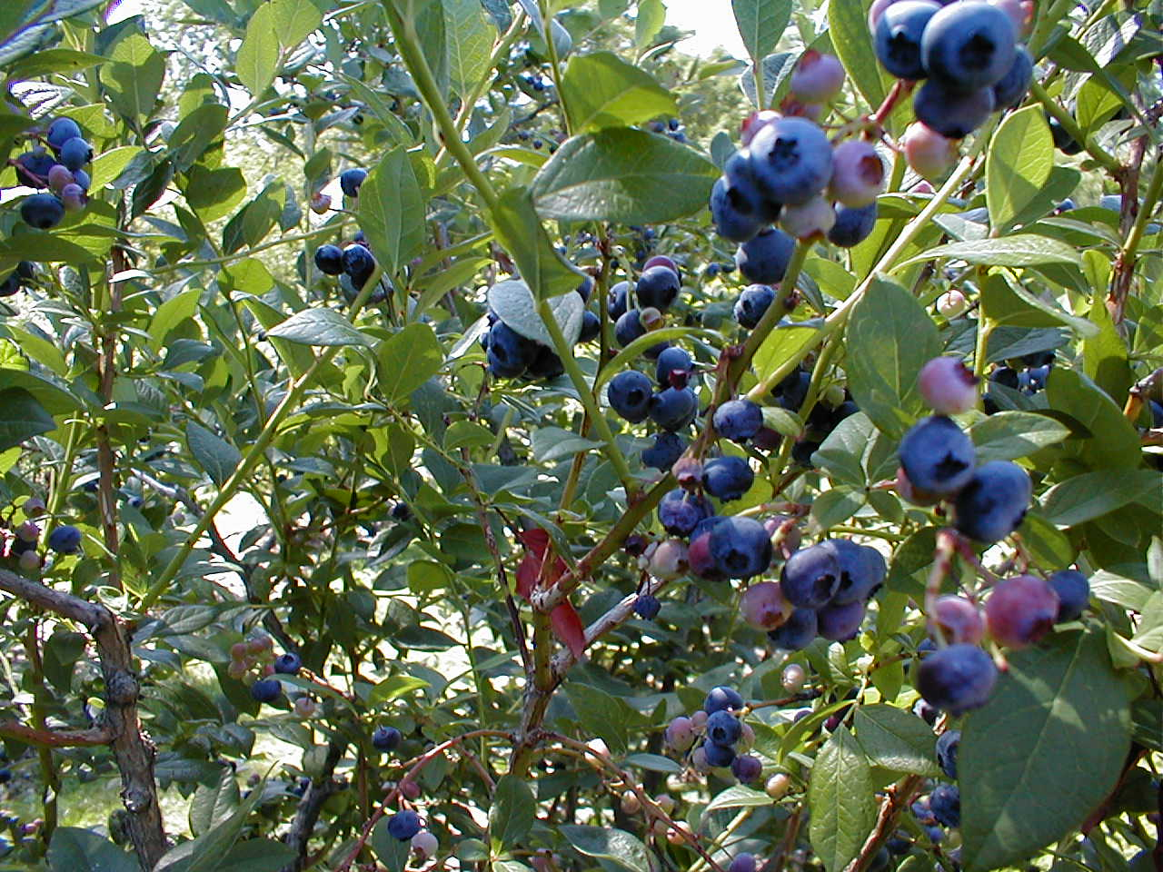 Garden Design With Blueberry Bush Planting Guide With Front Yard Design  From Cleanwarejb.cf