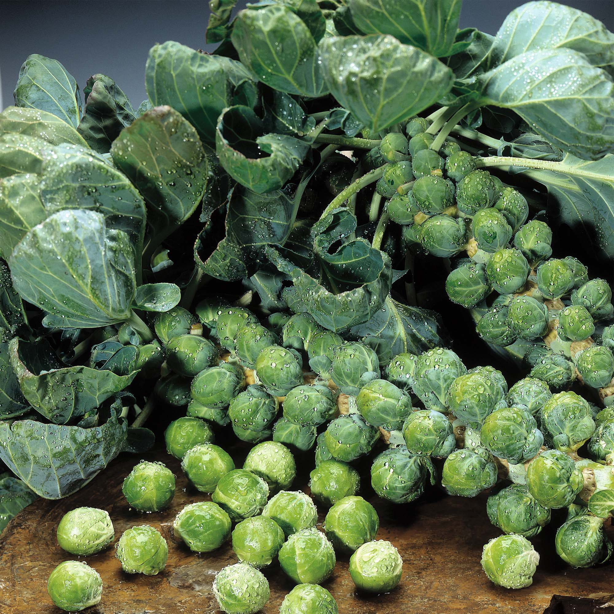 Brussels Sprouts Plant Care Guide ~ Container Growing Guide | Auntie ...