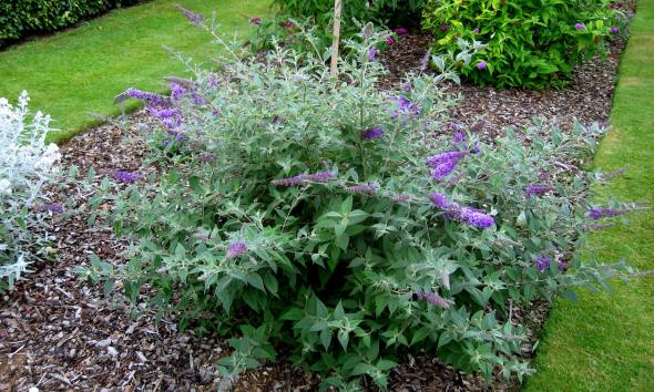 Buddleja_'Blue_Chip'