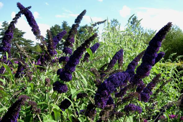 Buddleja_davidii_'Black_Knight'_2