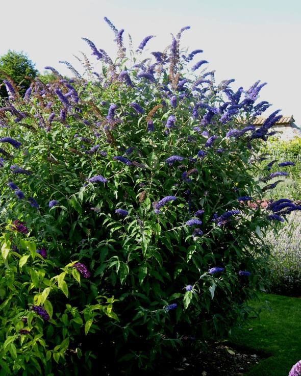 Buddleja_davidii_'Blue_Horizon'
