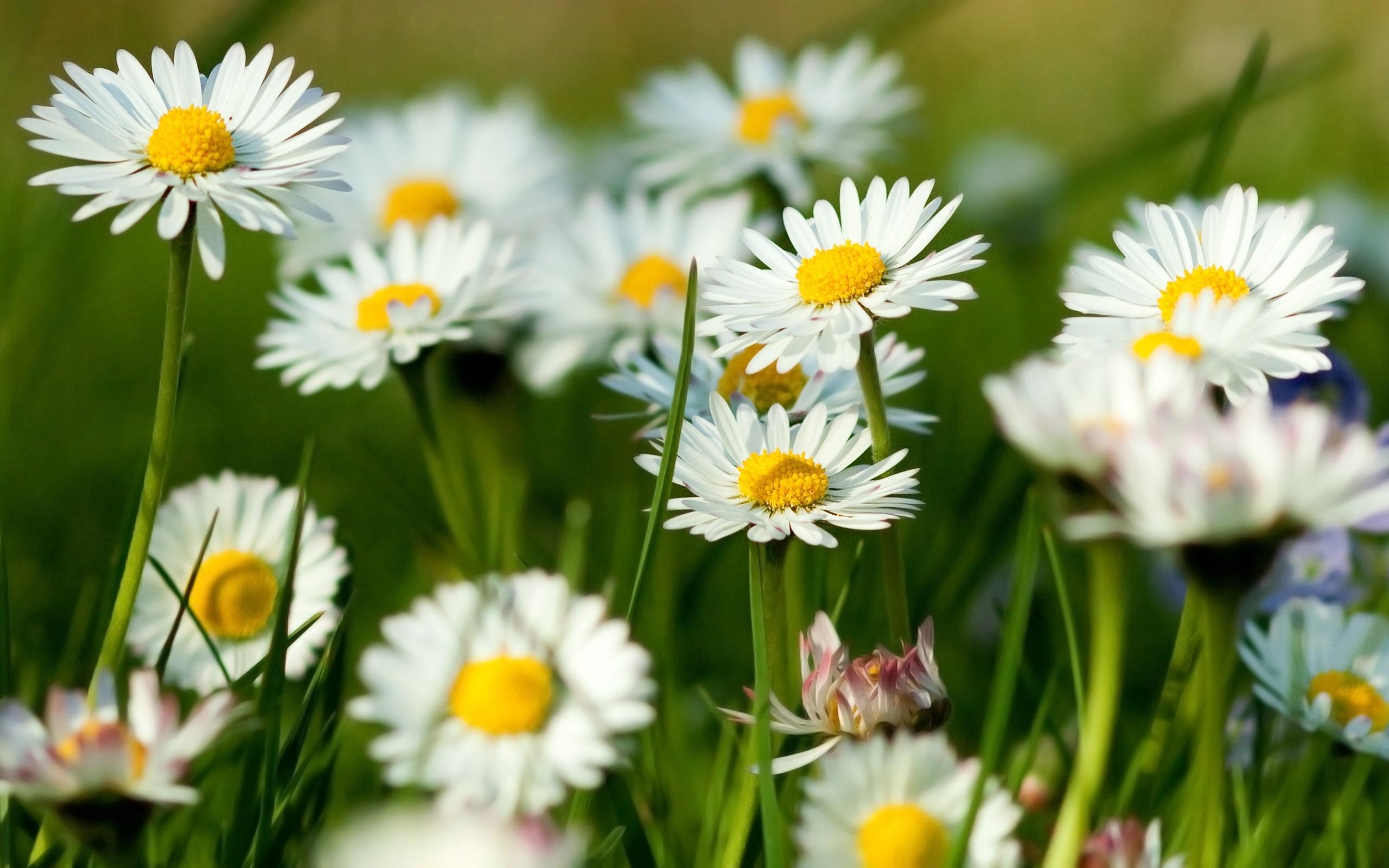 Chamomile flowers summer grass herbs1st