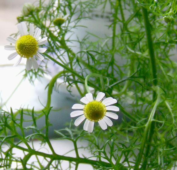 Chamomile_Flowers_2