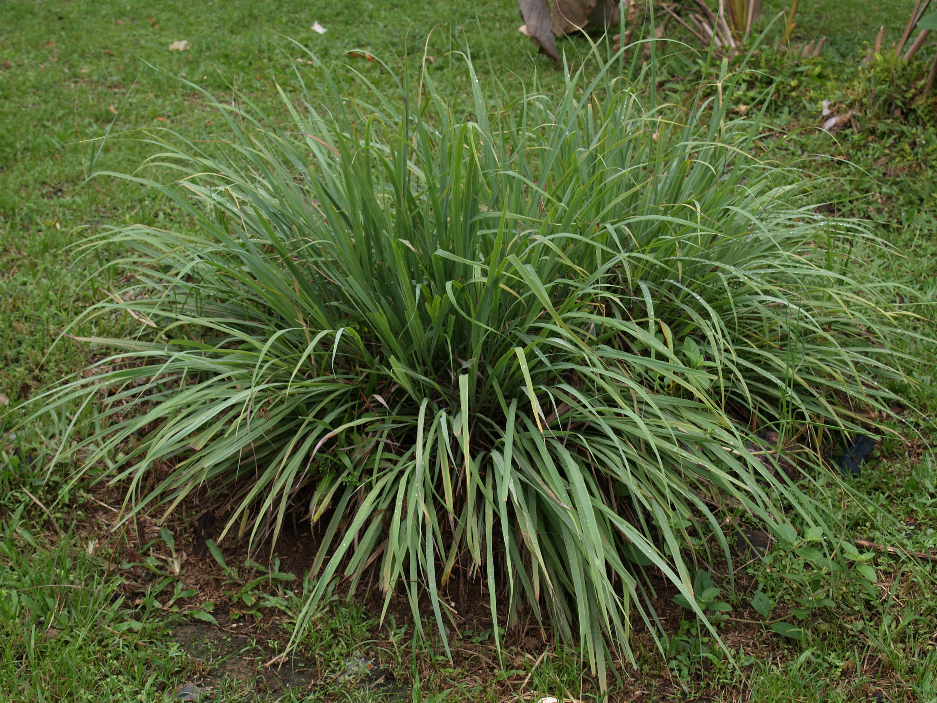 how to grow citronella grass from seed