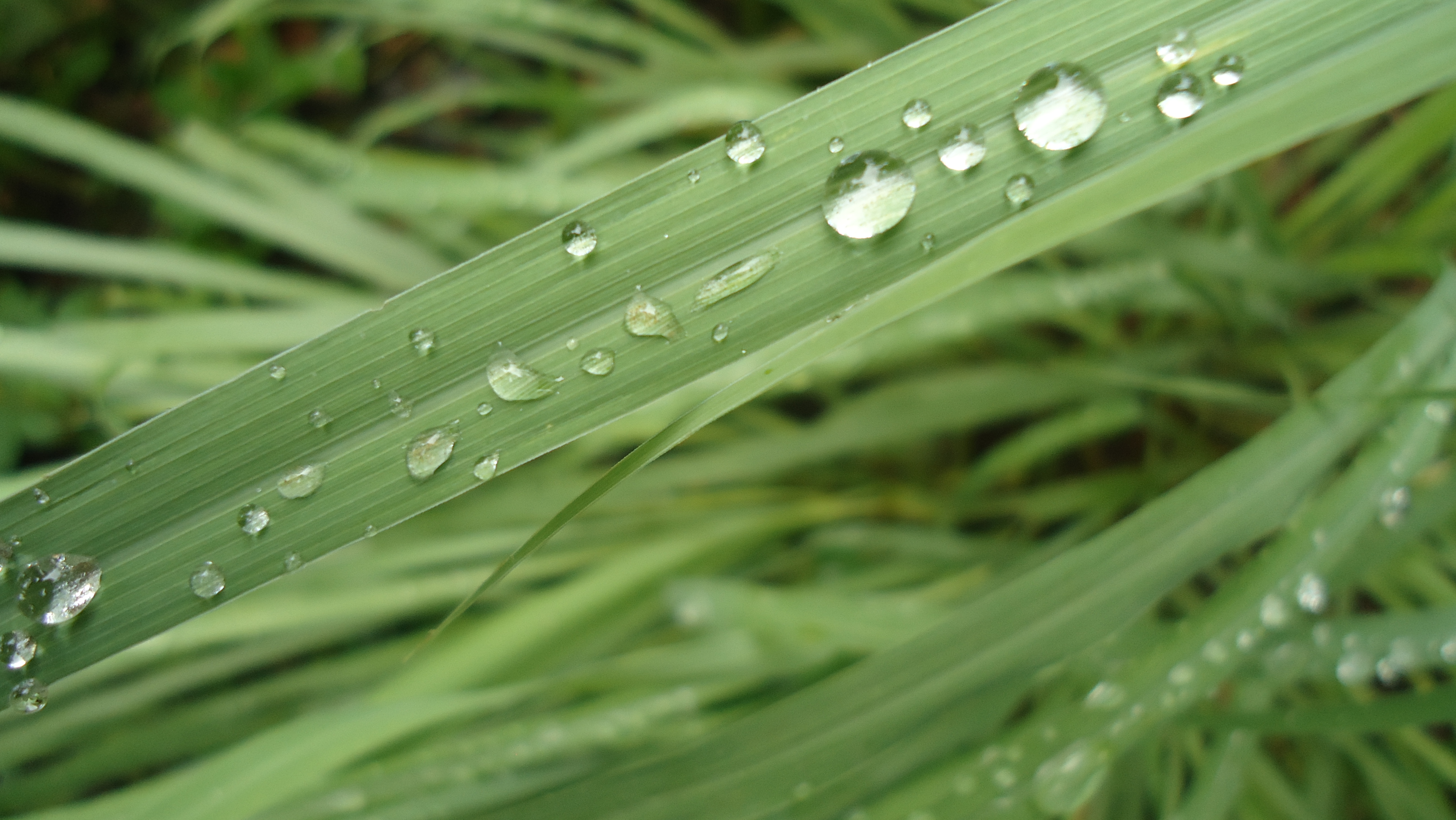 lemon grass benefits Lemongrass (cymopogon citratus) have you ever grown lemongrass have you  smelled or tasted lemongrass there are so many amazing benefits of using.