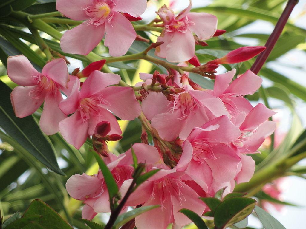 June 2013 auntie dogma 39 s garden spot page 2 - Nerium oleander ...