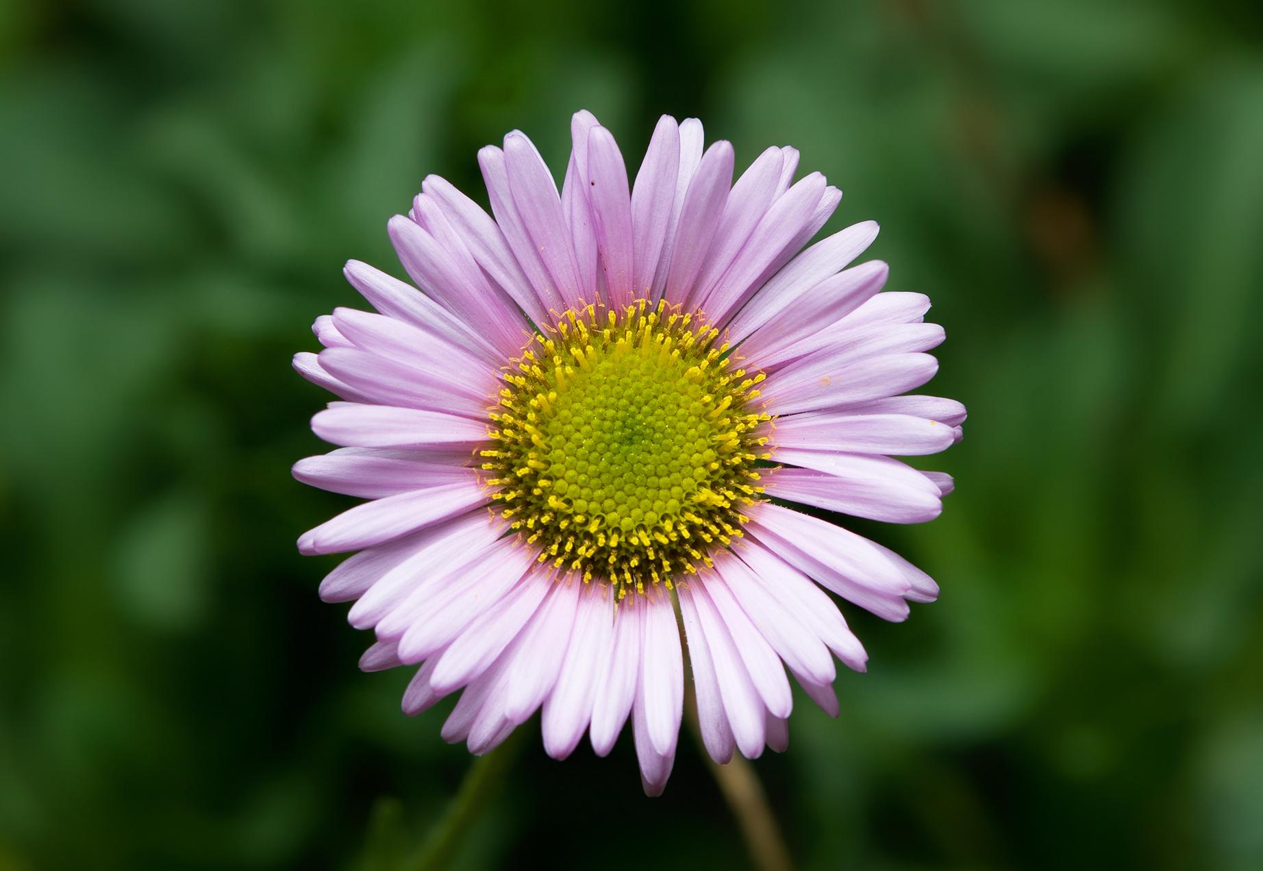 fleabane | Auntie Dogma's Garden Spot Pictures Of Flowers And Plants