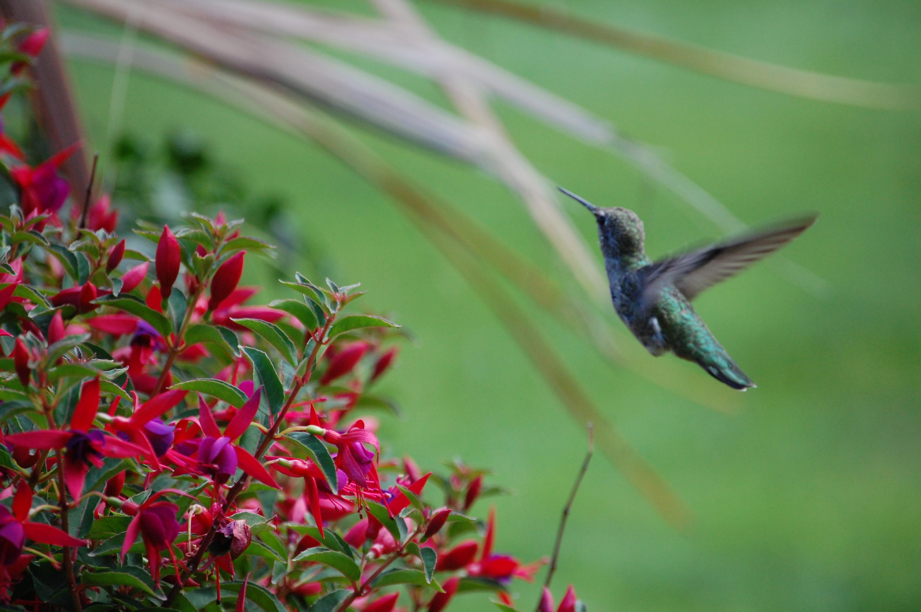 Hanging Flower Baskets Care : Fuschias auntie dogma s garden spot
