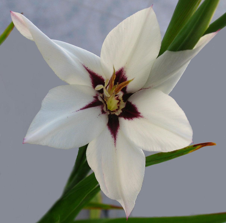 Sword Lily Auntie Dogma S Garden Spot