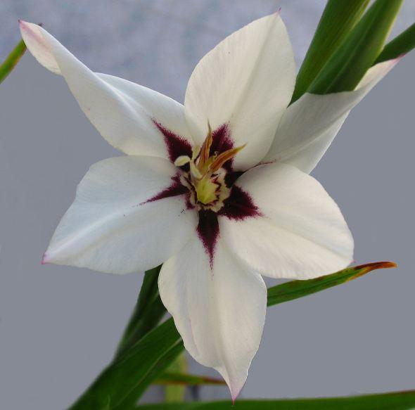 Gladiolus_callianthus_(1345579492)