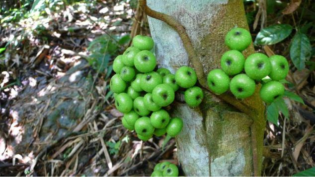 Green Wild fruit tree