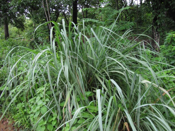 lemongrass citronella grass cymbopogon plant care guide auntie dogma 39 s garden spot. Black Bedroom Furniture Sets. Home Design Ideas