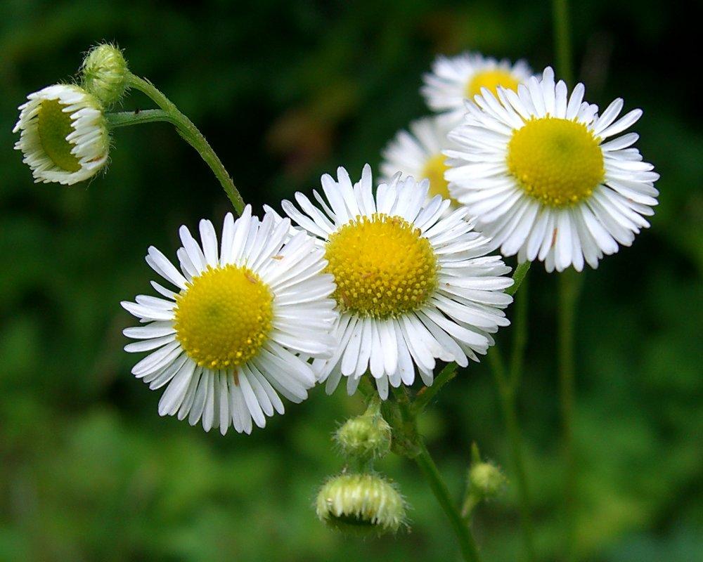 Daisy Like Flower Auntie Dogmas Garden Spot