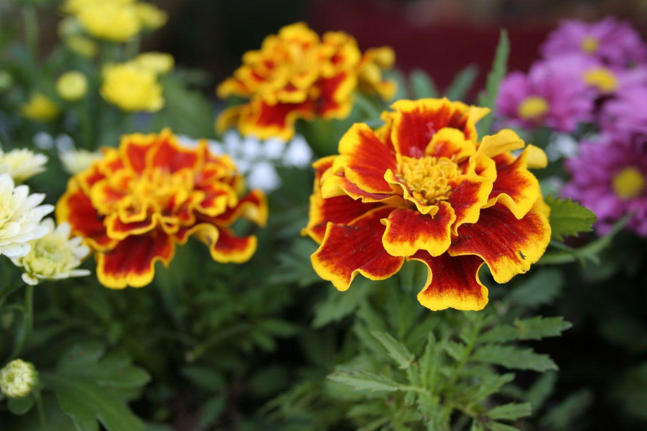 Garden Myth Citronella Geranium Vs 5 Easy To Grow Mosquito Repelling Plants That Work Auntie