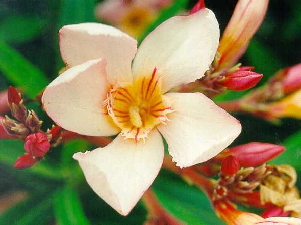 Oleander-Lovely-Flower