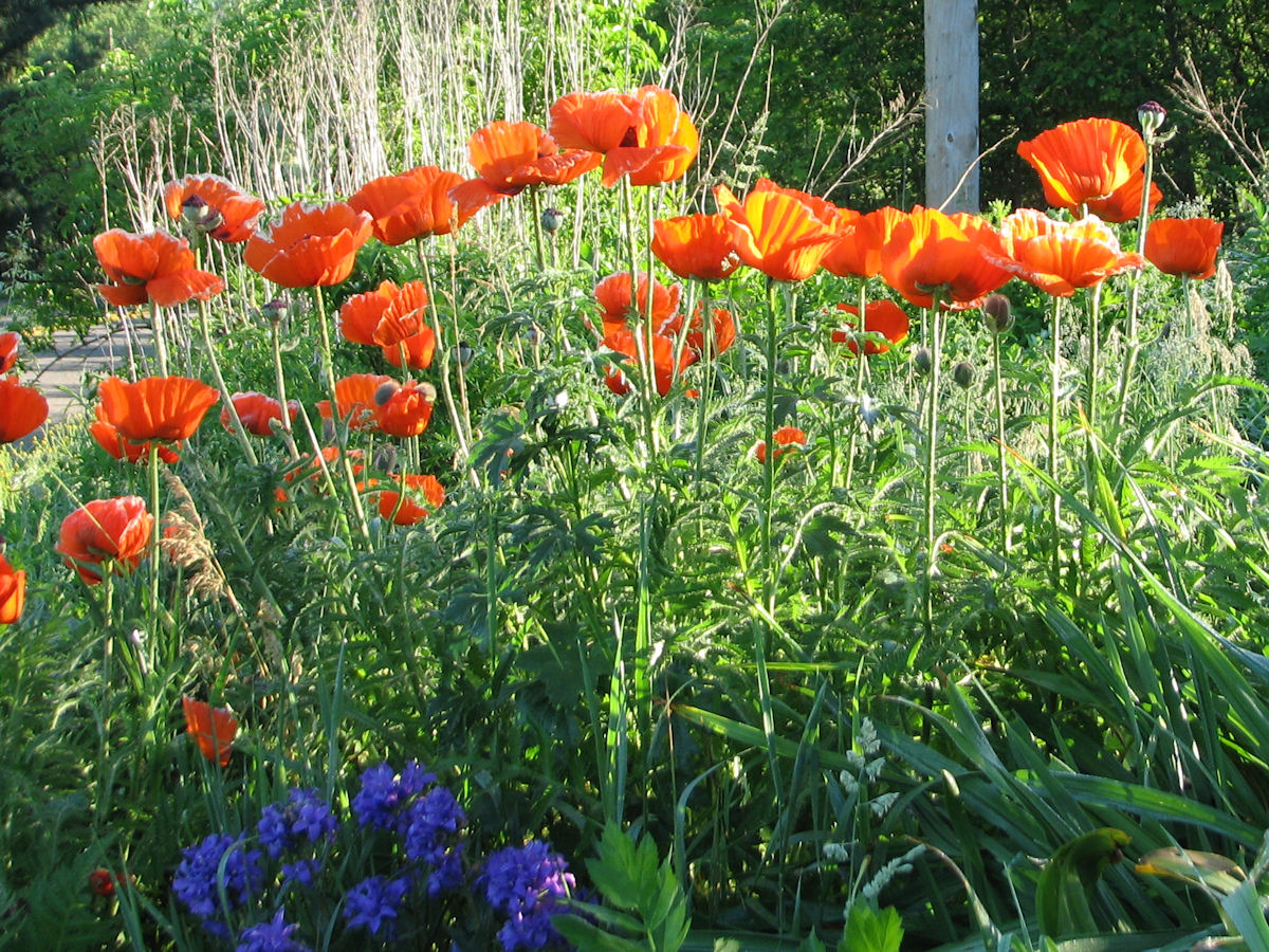 papaver orientale oriental poppy plant care guide