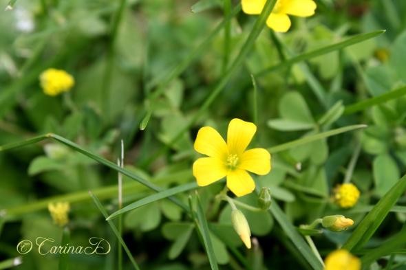 peonies garden 1 june 2013 135ed