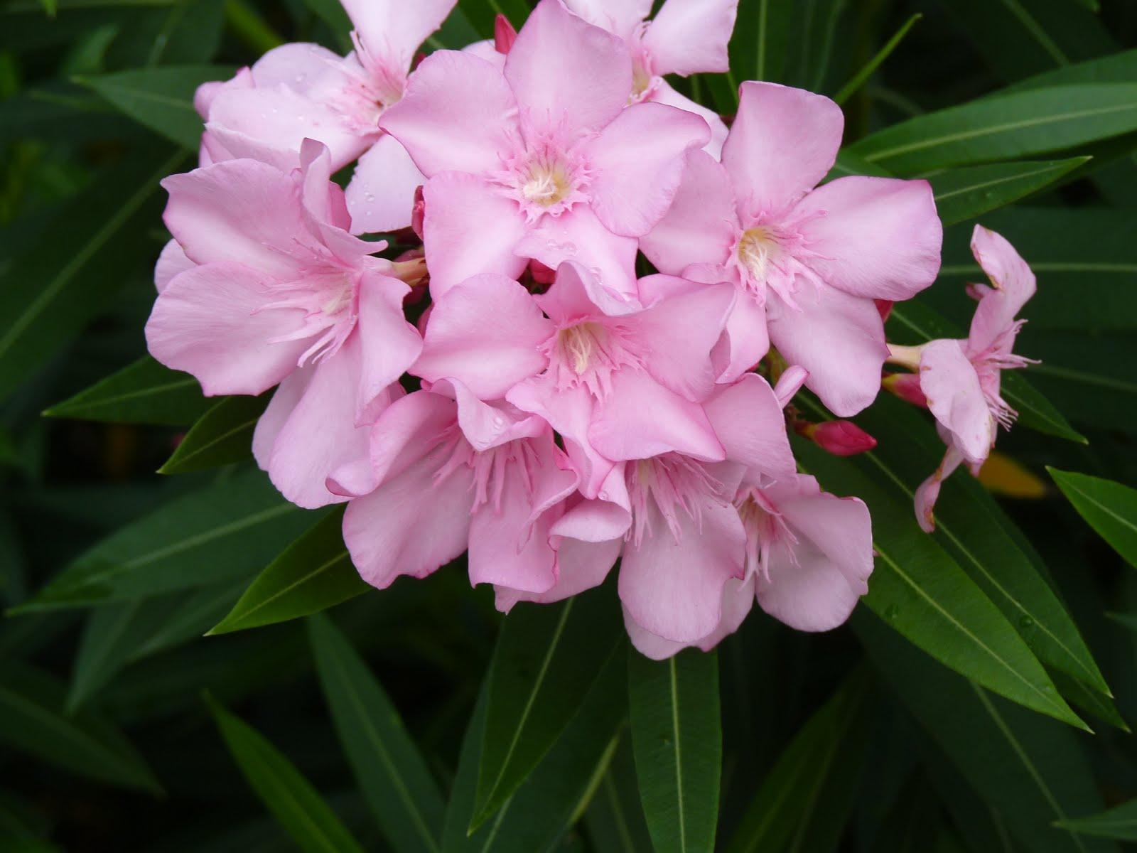 Oleander (flower): description, types, planting and care 35