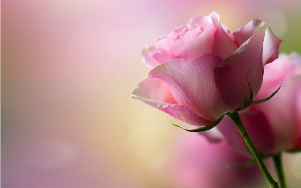 pink-rose-petals