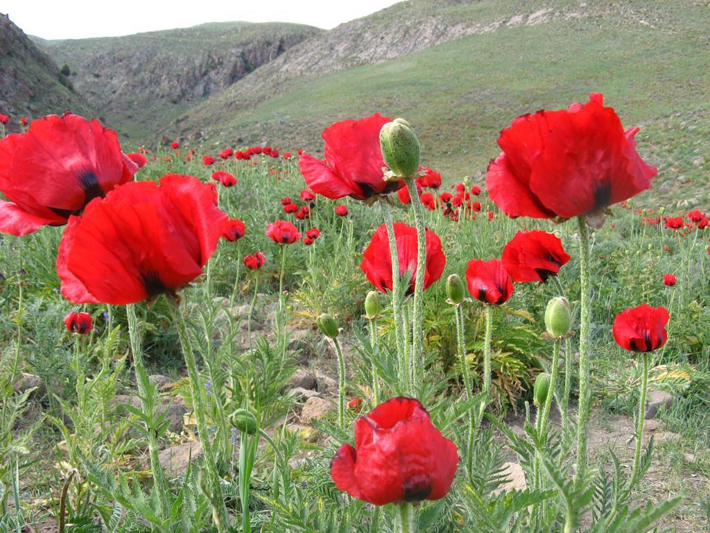 Oriental Poppies Papaver Orientale Auntie Dogmas Garden Spot