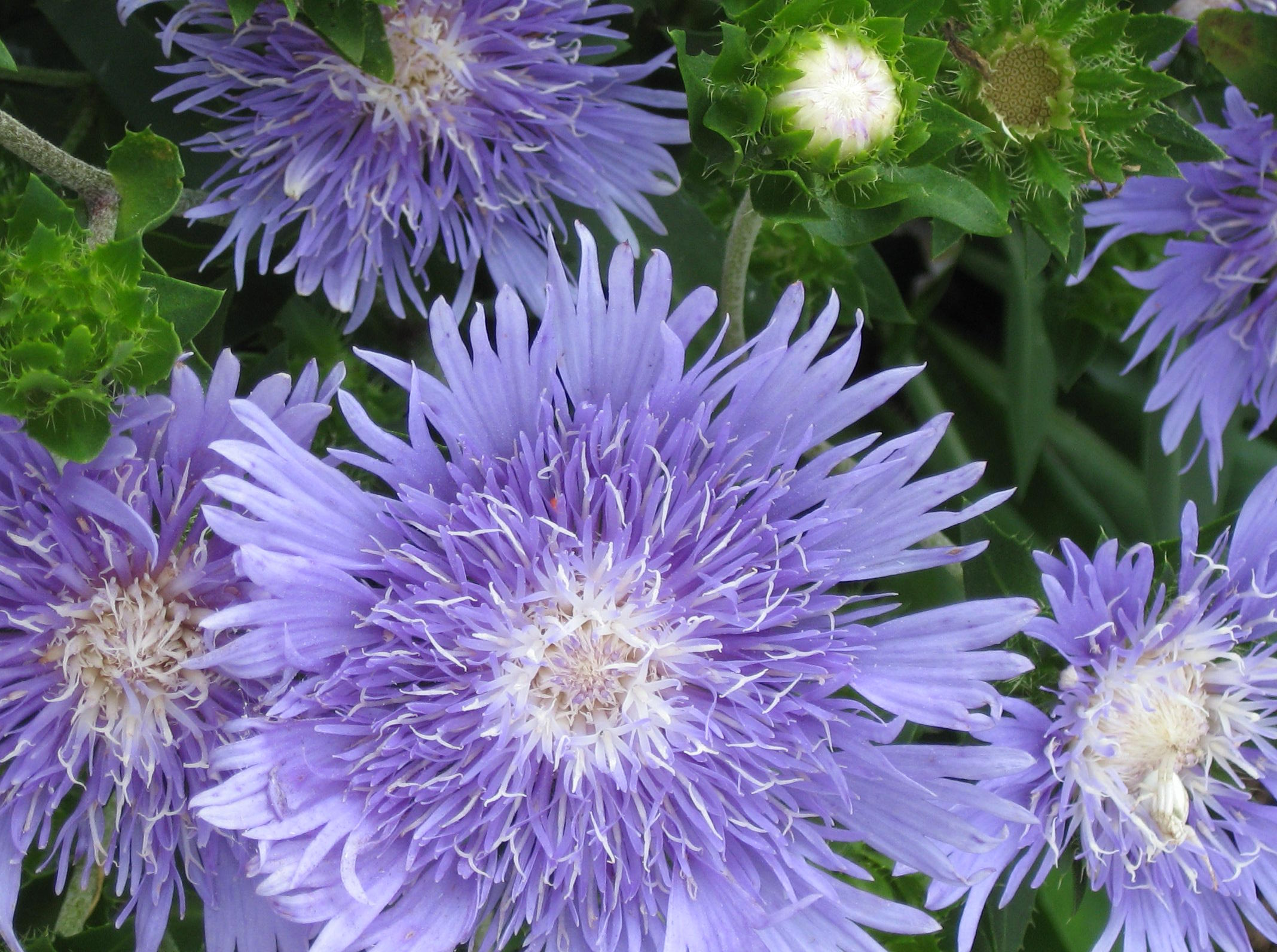 Asters Flowers Care Aster Flower Care Stokesia