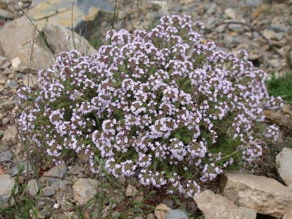 Thyme in Flower s