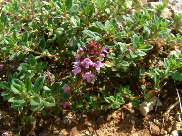 Thymus_serpyllum1