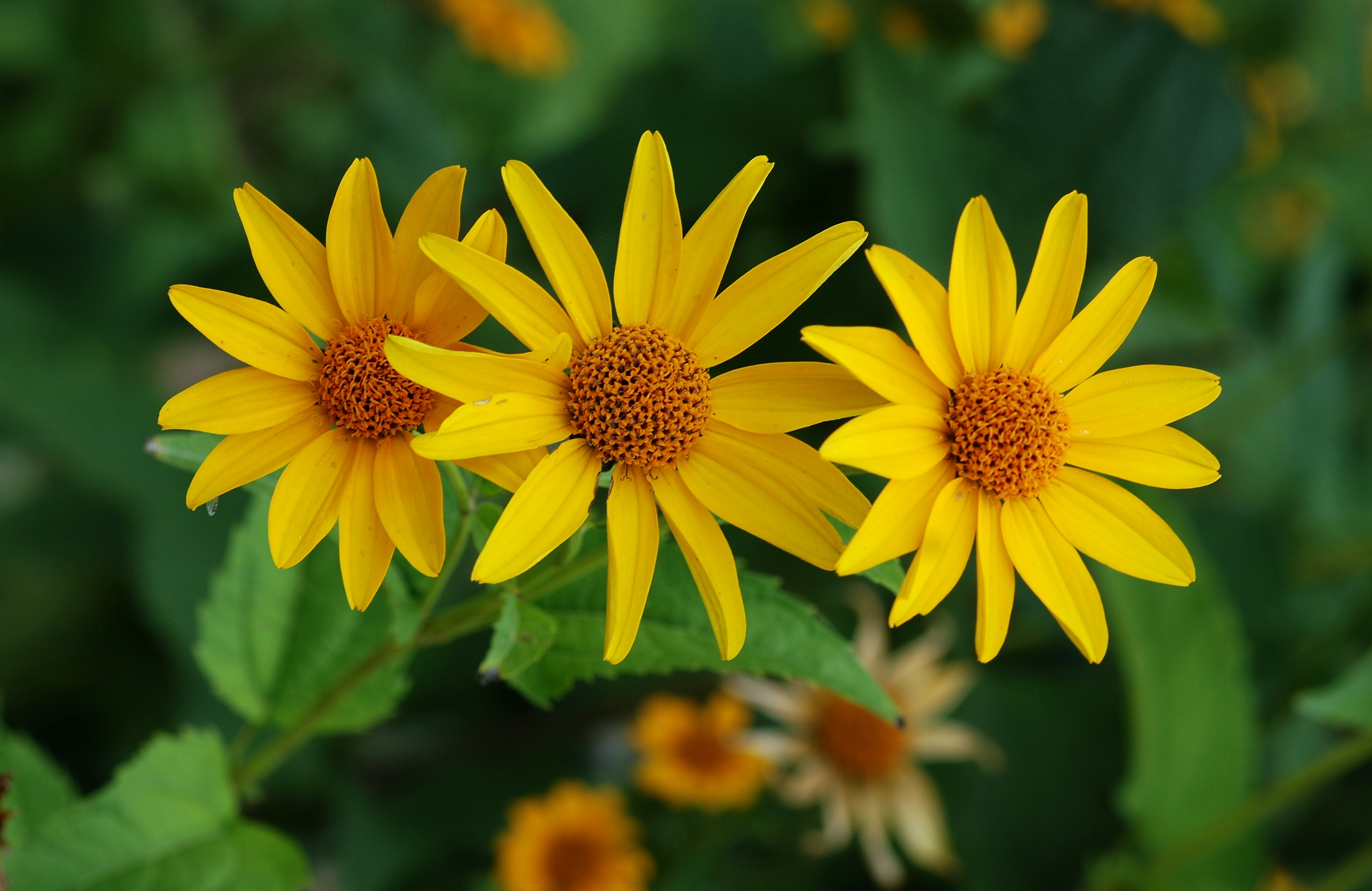 Tickseed ~ Coreopsis | Auntie Dogma's Garden Spot Pictures Of Flowers And Plants
