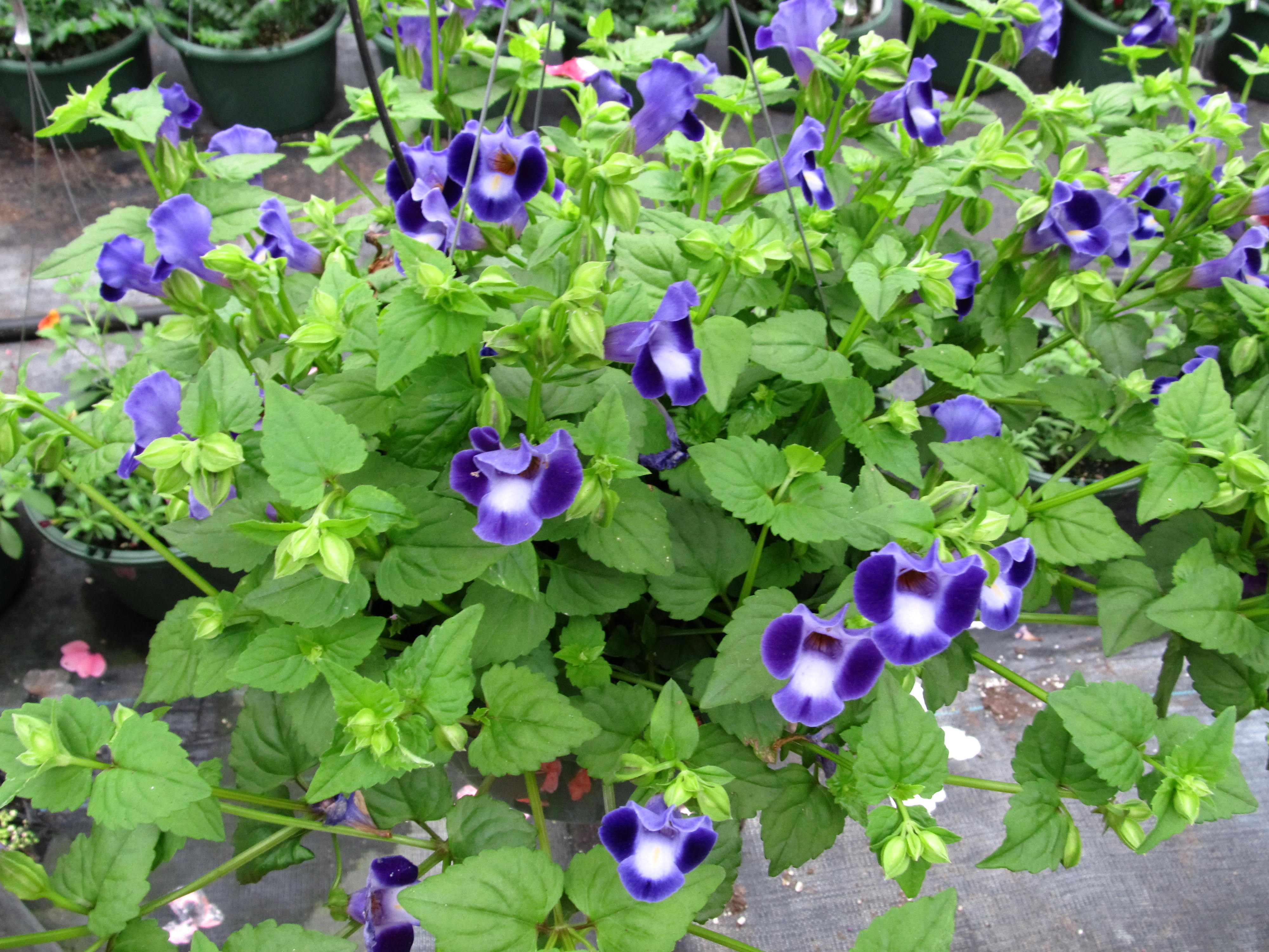 Flowers For Hanging Baskets In Part Shade : Torenia auntie dogma s garden spot
