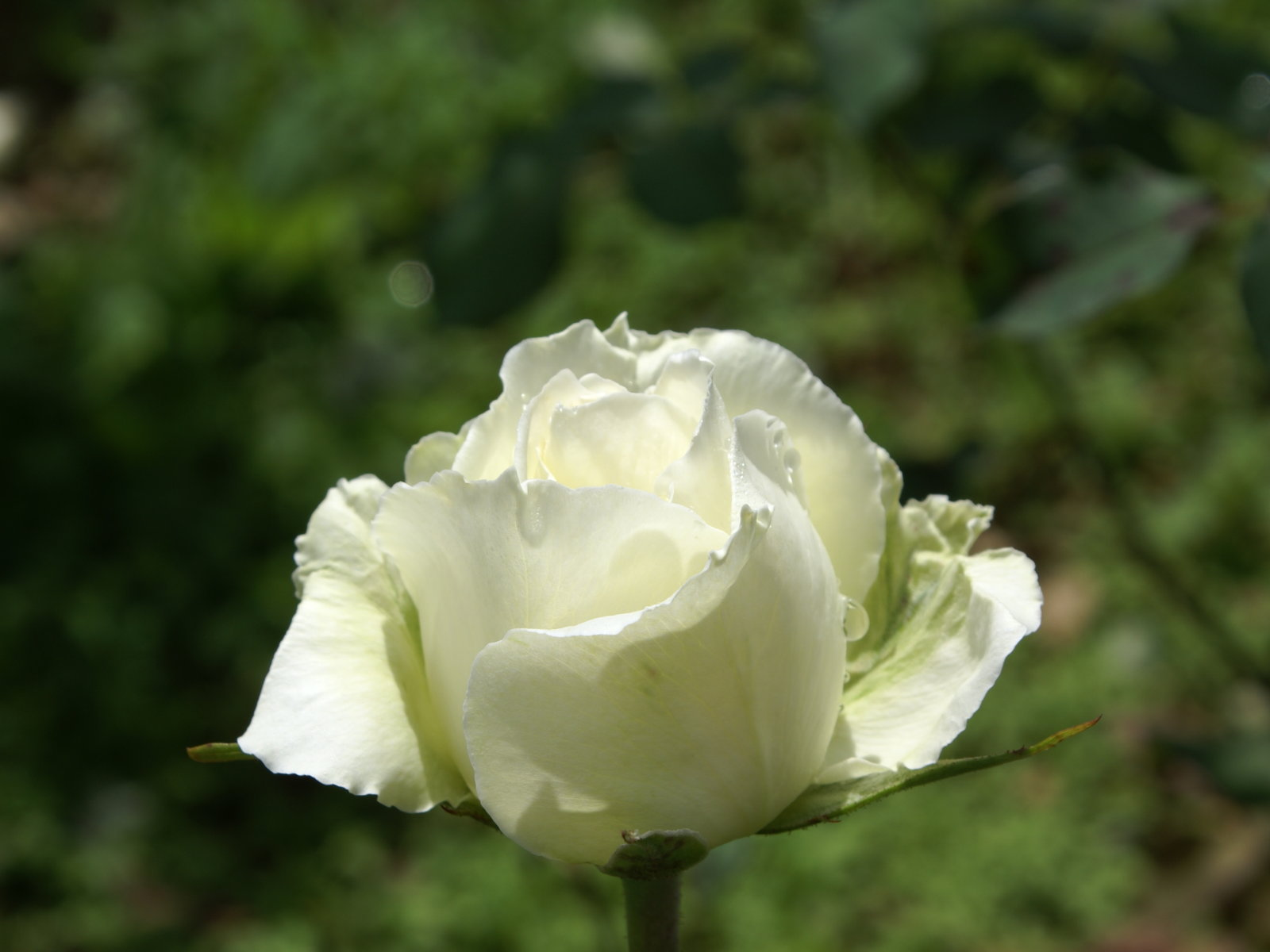 June's Birth Flower is the Rose