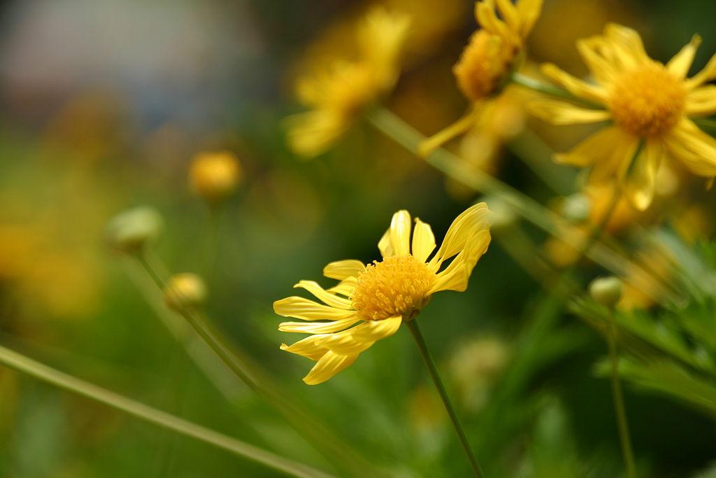Chrysanthemum ~ Mums ~ Chrysanths